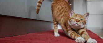 Как выводить блох у кошек