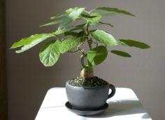 Как прорастить авокадо